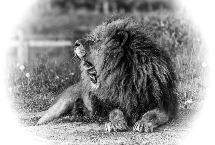 Lion at Yorkshire Wildlife Park