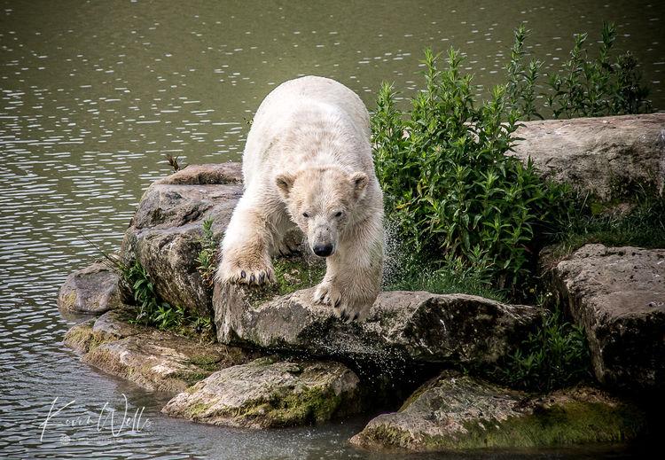 Polar Bears at Yorkshire Wildlife Park