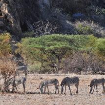 11.Grevy's zebras Shaba National Reserve