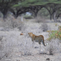 18. Leopard Shaba National Reserve