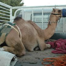 19.DSC 0394 Camel at UAE border