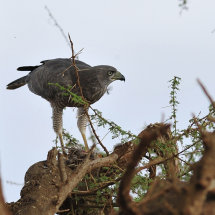 1.Dark Chanting Goshawk