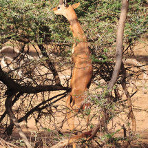 31.A gerenuk stands up to nibble leaves