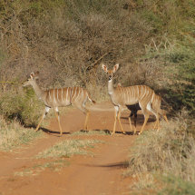 DSC 0182 Lesser Kudu in Selenkai Conservancy