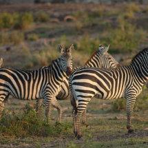 DSC 0233 Burchell's Zebra