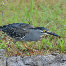 DSC 3587  triated heron with dragon fly in beak