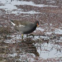 IND 6434 Bird