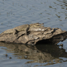 IND 6531 CrocodileRanthambore