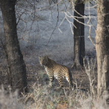 IND 6592 Leopard Ranthambore