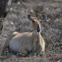 IND 6620 Sambar Deer Ranthambore