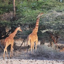 JED 7849 Reticulated Giraffe Shaba National Park