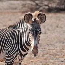 JED 7877 Grevy's Zebra Shaba Nationa Reserve
