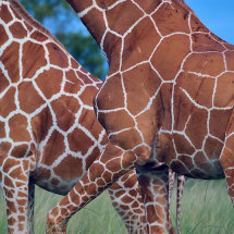 RHI 4967 Reticulated Giraffe Patterns