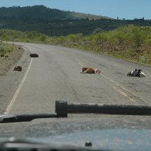 Road to Kerio Valley Sheep sleeping