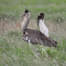 BAL9509 Greater Bustard displaying Tsavo East