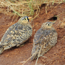 BAL9538 Sandgrouse Tsavo