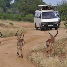 BAL9581 Impala Tsavo National Park