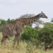 BAL9628 Masai Giraffe Tsavo East