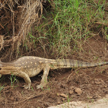 BAL9654 Monitor Lizard Tsavo East