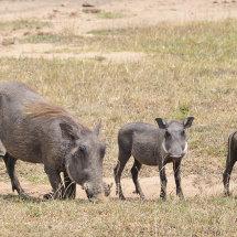 KEN0073 Warthog family Masai Mara