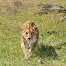 KEN0181 Stalking lioness Masai Mara