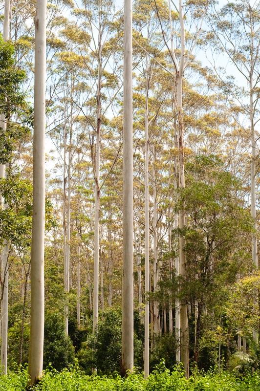 Eucalyptus forest, Australia