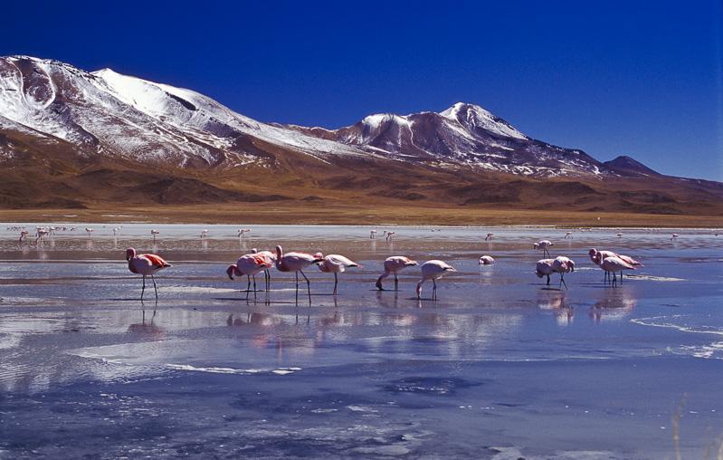 Pink Flamingoes, Bolivia