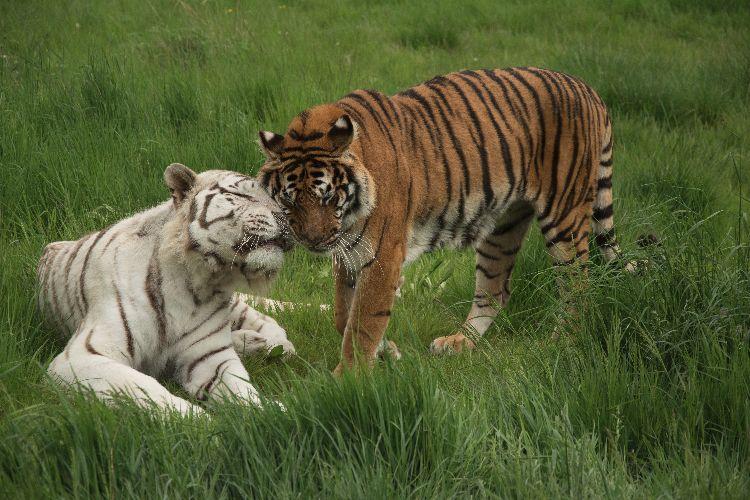 Bengal & White Tigers