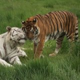 Bengal & White Tigers