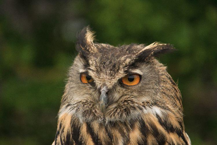Eagel Owl