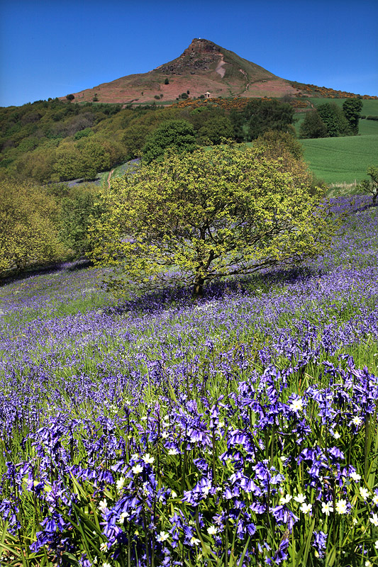 Roseberry Bluebells 1