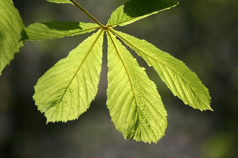 Chestnut Leaves 2