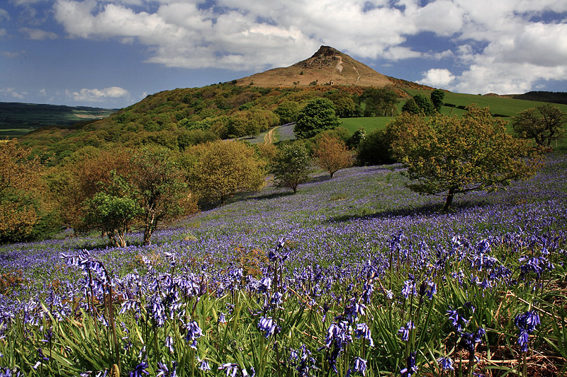 Roseberry Bluebells 4