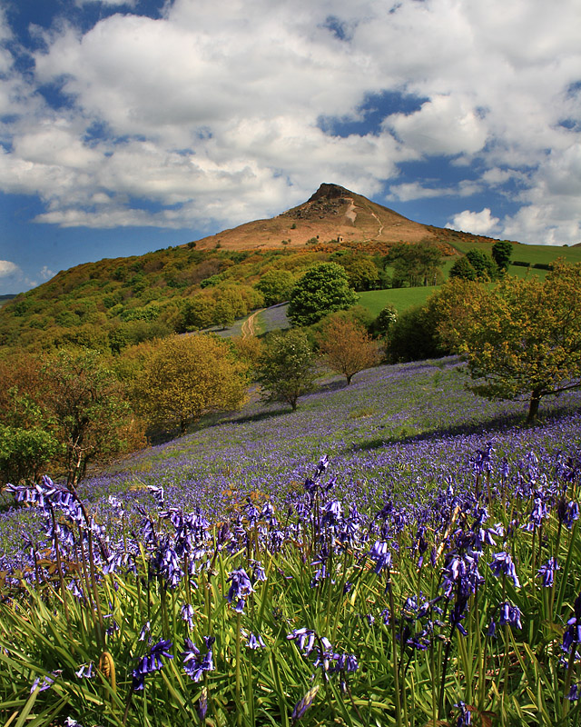 Roseberry Bluebells 2