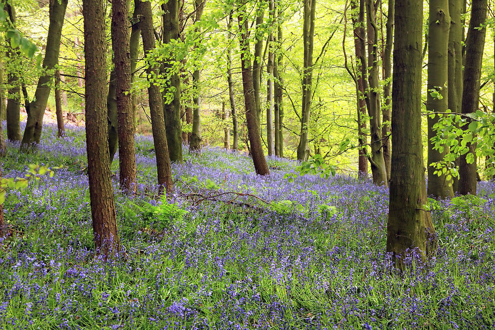 nw 190 Faceby Bluebells