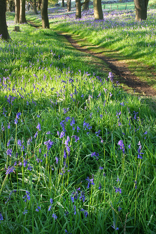Bluebell Path 3