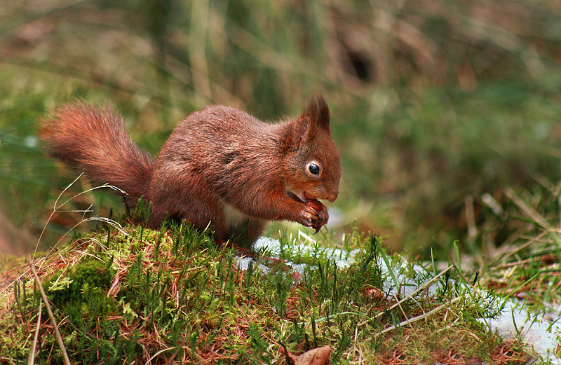 Red Squirrel Trail - Snaizeholme
