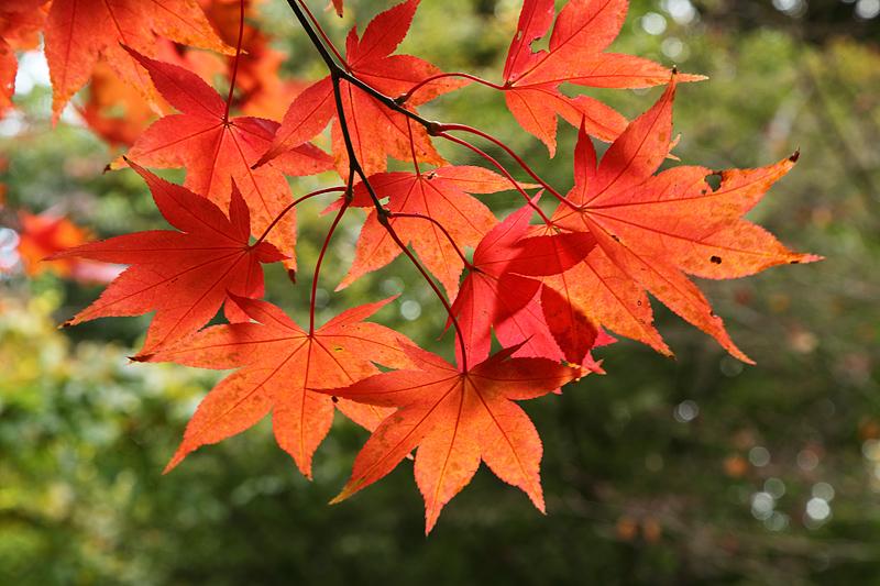 Autumn Acer 2