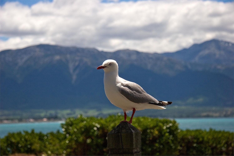 90102 - Seagull