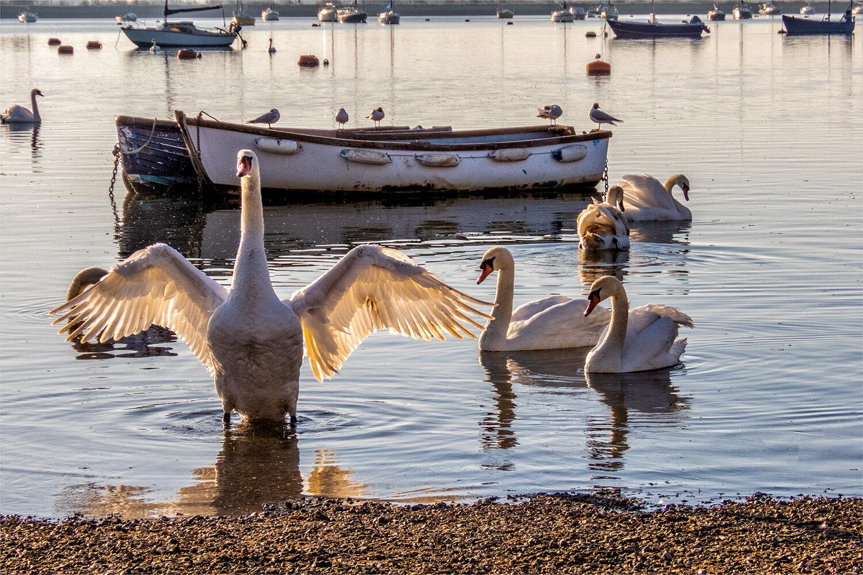 90201 - Mute Swan