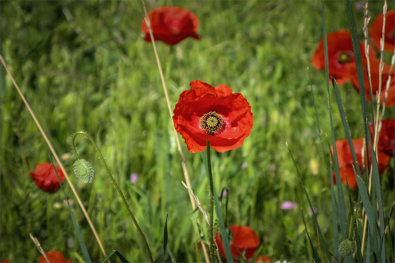 90501 - Wild Poppy