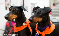 2 Manchester Terriers