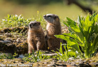 Baby Marmots