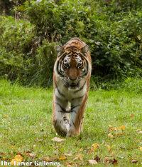 TIGER,TIGER