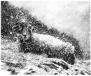 Swardle Yow - pencil drawing by Vivienne Coleman