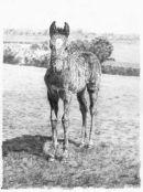 Foal in the Field