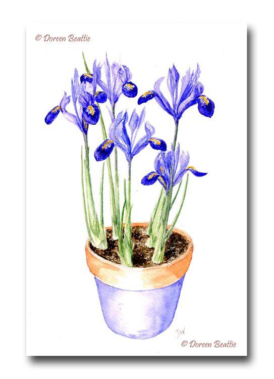 Iris-x2