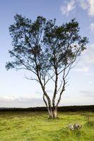 Lone Tree on Stanton Moor