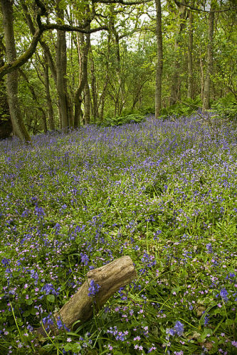 Bluebell Wood, May 2011
