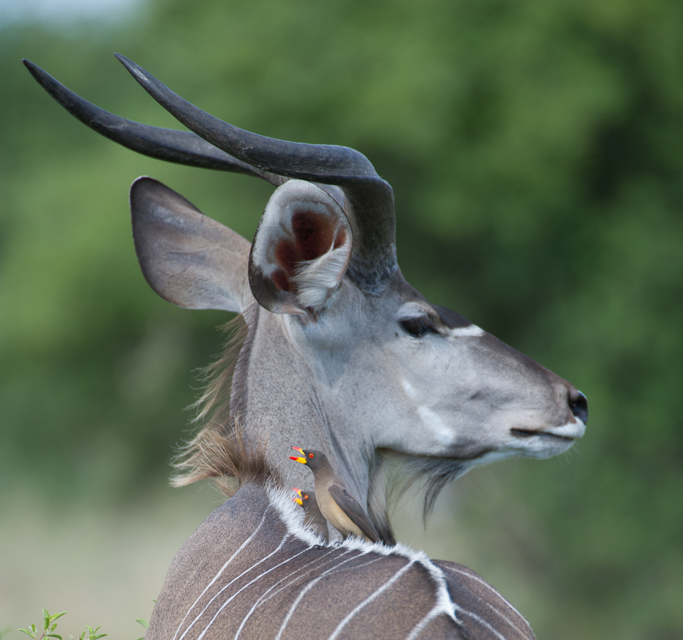 Kudu and Oxpecker
